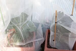 ブロッコリーに虫除けチューブと苗カバー