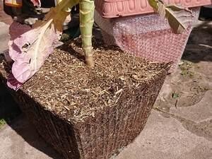 ブロッコリーの根っこと四角いプランター